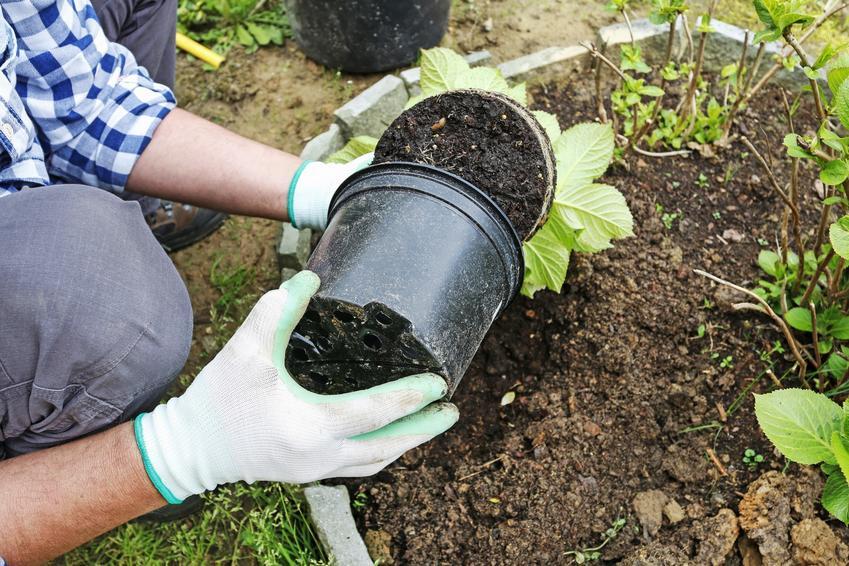 Sadzenie hortensji do gruntu w ogrodzie, a także porady, jak i kiedy sadzić hortensje