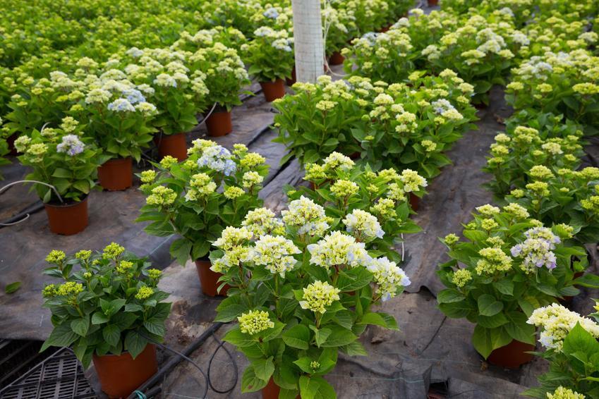 Hortensje w doniczkach gotowe do sadzenia, a także kiedy sadzić hortensje, sadzenie hortensji do gruntu