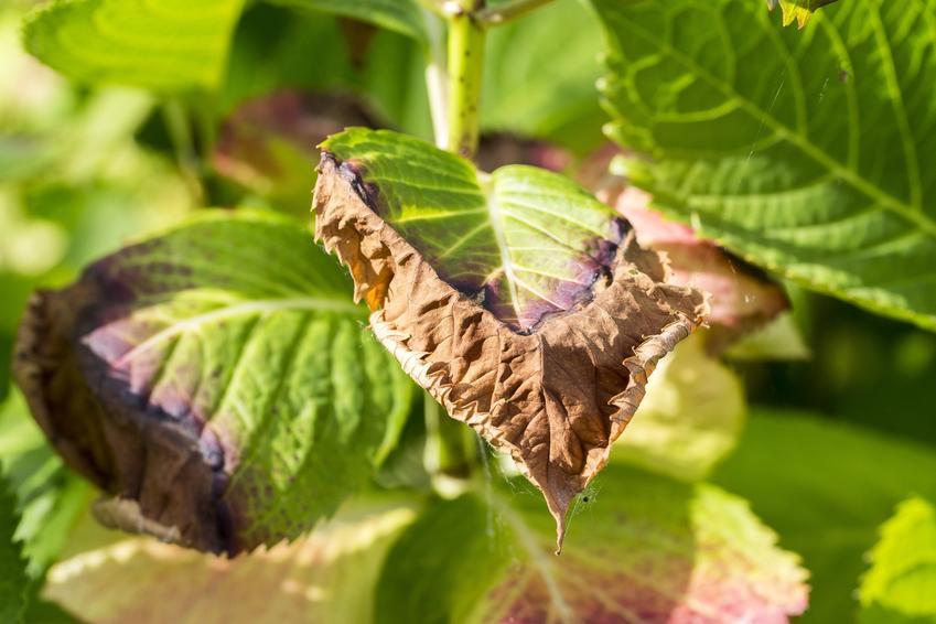 Chore i porażone liście hortensji, czyli choroby hortensji i hortensja ogrodowa
