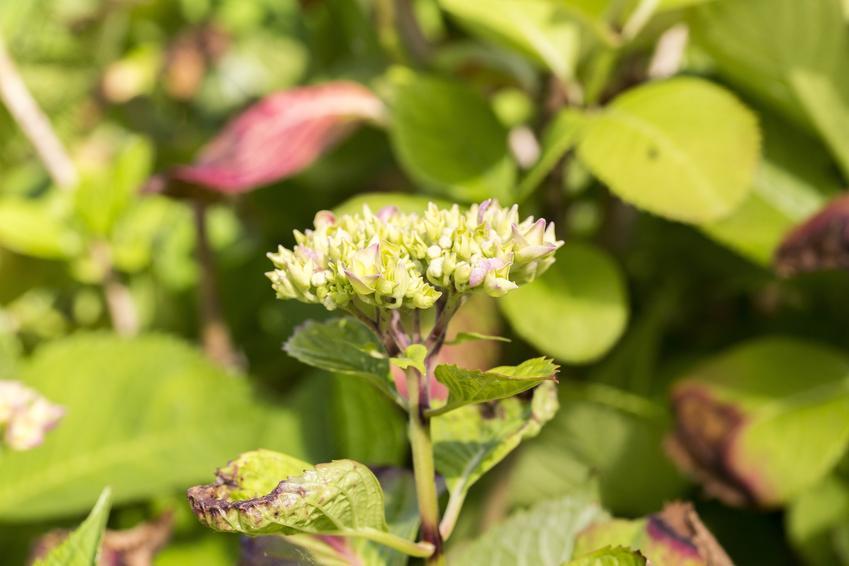 Hortensja ogrodowa z porażonymi liśćmi, a także choroby hortensji krok po kroku