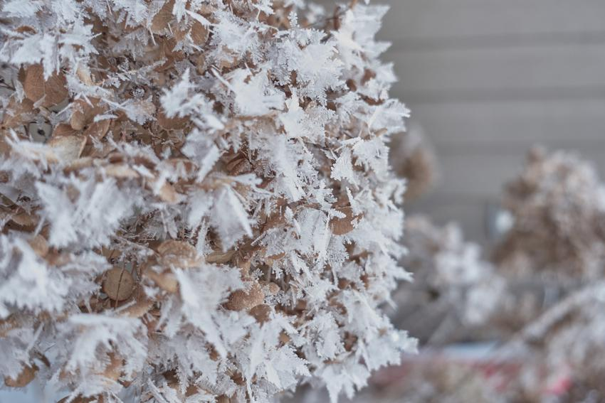 Hortensja w ogrodzie pokryta szronem i śniegiem, a także porady, jak przezimować hortensję