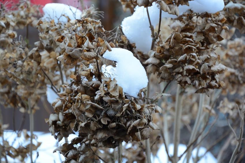 Hortensja ogrodowa pokryta śniegiem, czyli zimowanie hortensji ogrodowej i zimowanie hortensji