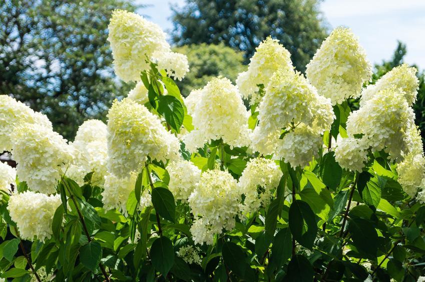 Hortensja bukietowa w czasie kwitnienia w ogrodzie oraz odmiany hortensji bukietowej