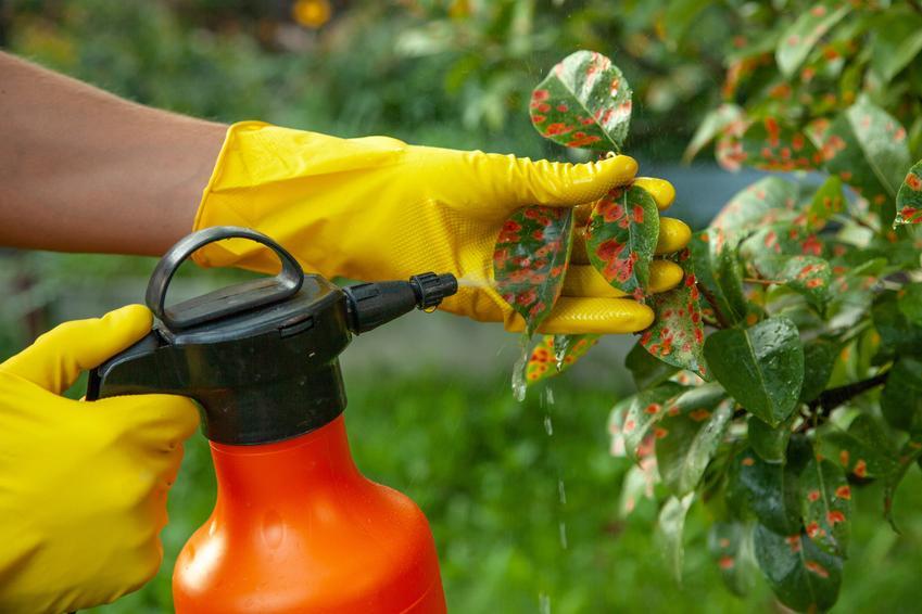 Oprysk drzew owocowych, a także parch gruszy, choroby gruszy, parch jabłoni, zwalczanie