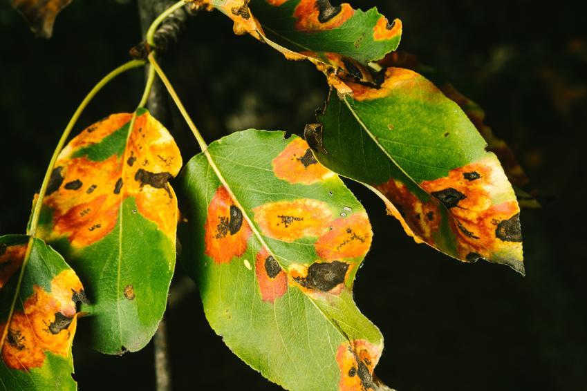 Porażone liście gruszy, a także parch gruszy, choroby gruszy, parch jabłoni, zwalczanie