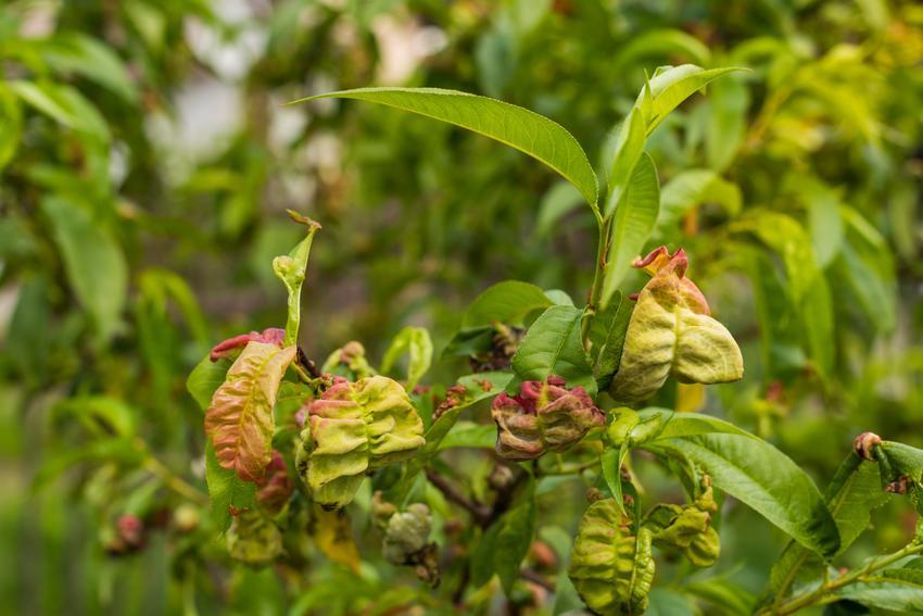 Porażone liście, a także kędzierzawość liści brzoskwini, choroby brzoskwini, zwalczanie ekologiczne
