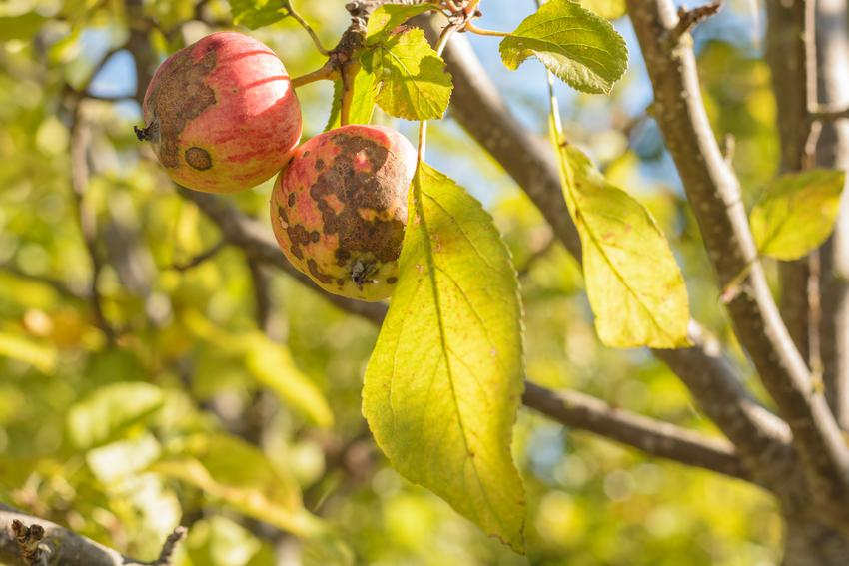 Porażone owoce jabłoni, a także choroby drzew owocowych, w tym choroby jabłoni