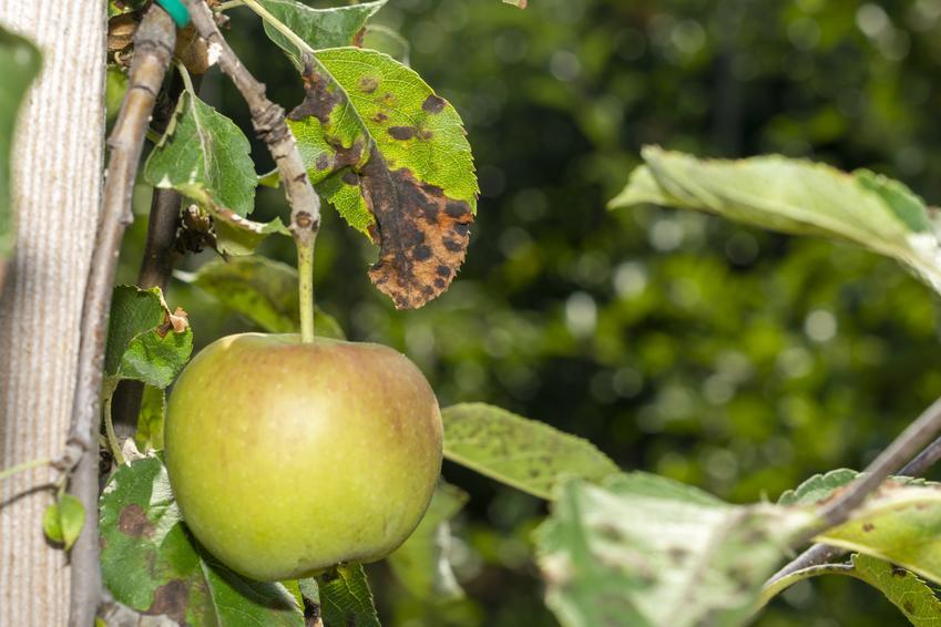 Chore liście jabłoni, a także choroby drzew owocowych, ich rozpoznanie i zwalczanie