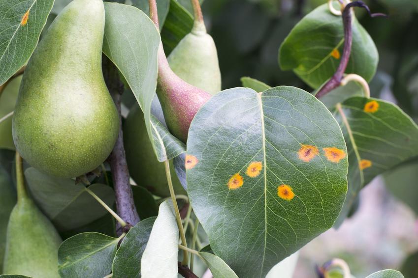 Porażone liście gruszy, a także choroby gruszy, jak rdza gruszy, parch gruszy, zaraza ogniowa