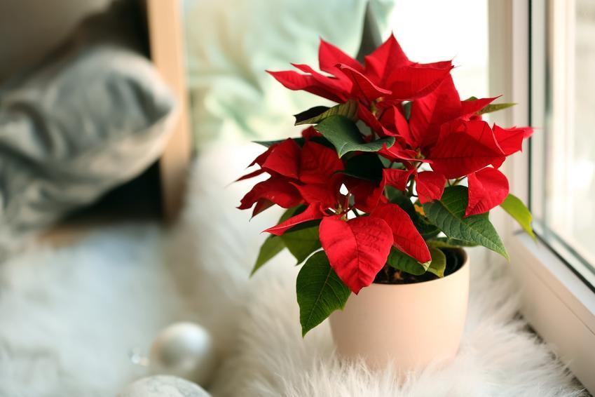 Kwiat gwiazda betlejemska w doniczce na parapecie, czyli poinsecja lub wilczomlecz nadobny,