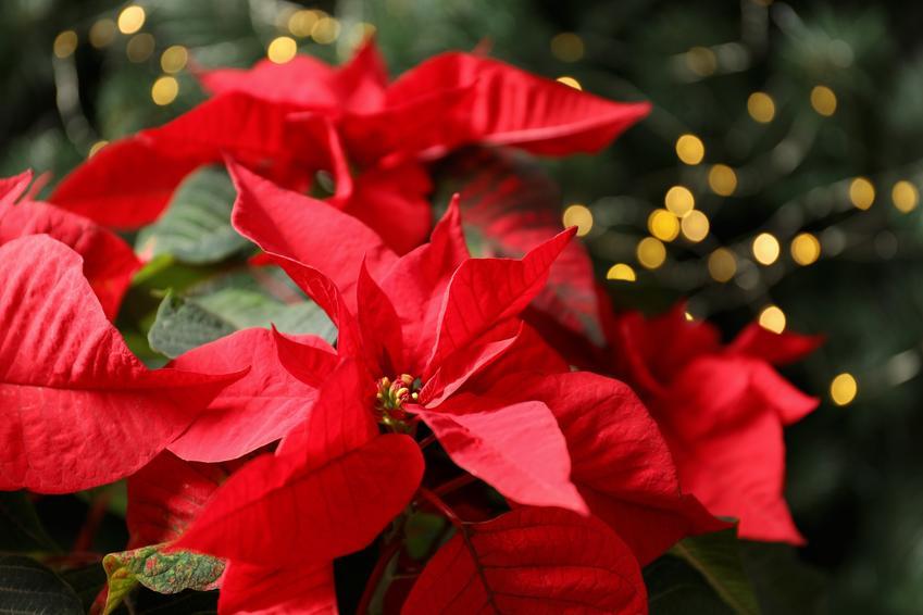 Kwiat gwiazda betlejemska w święta, czyli poinsecja lub wilczomlecz nadobny,