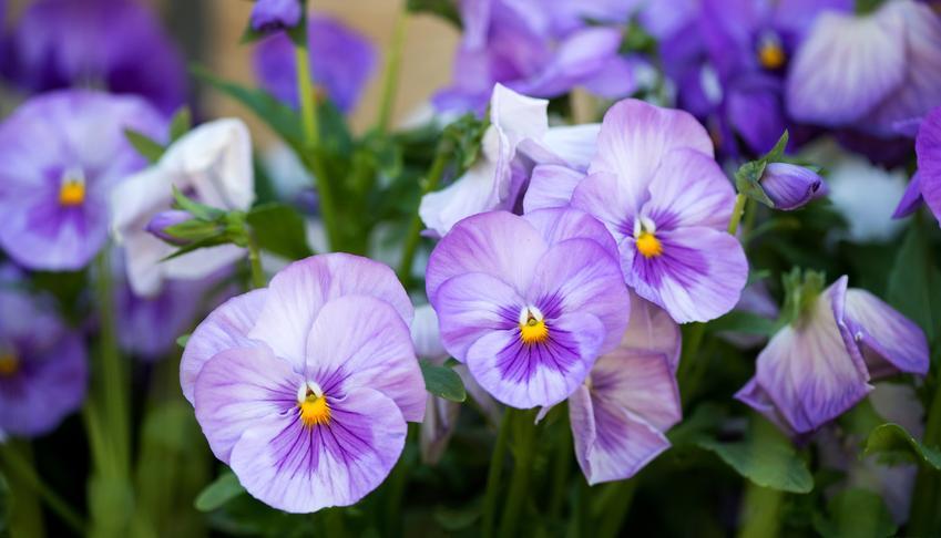 Fiołek w czasie kwitnienia w ogrodzie, a także fiołki do domu i do ogrodu oraz ich pielęgnacja
