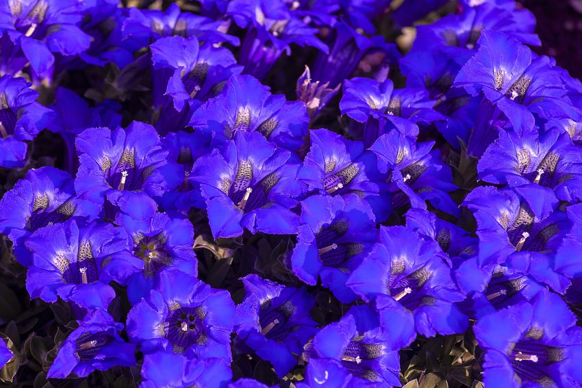 Piękny fiołek alpejski lub cyklamen perski i zbliżenie na kwiaty, a także uprawa i pielęgnacja