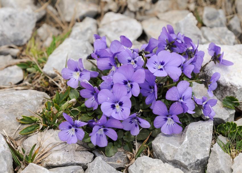 Fiołek alpejski czy też cyklamen perski w czasie kwitnienia oraz jego uprawa