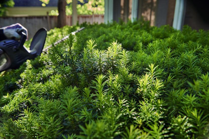 Cis w ogrodzie jako roślina na żywopłoty, a także inny polecany krzew na żywopłoty