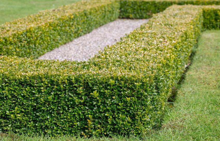 Bukszpan w ogrodzie jako roślina na żywopłoty, a także inny polecany krzew na żywopłoty