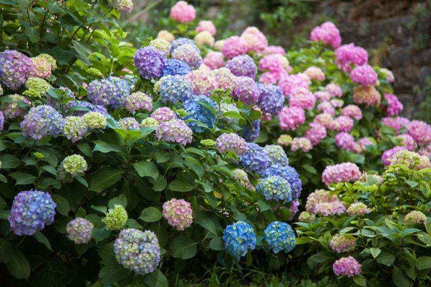 Hortensja ogrodowa w czasie kwitnienia, a także jej uprawa i pielęgnacja