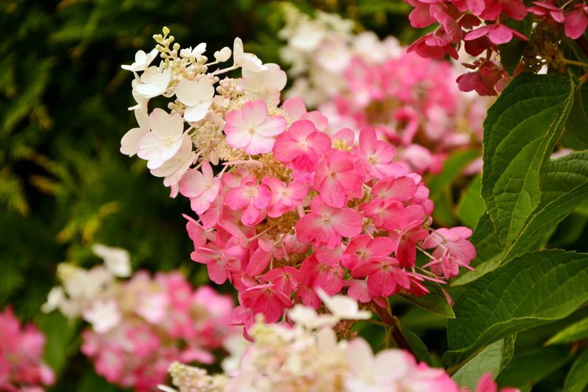 Kwitnąca hortensja ogrodowa, a także hortensja bukietowa, hortensja pnąca i pielęgnacja hortensji