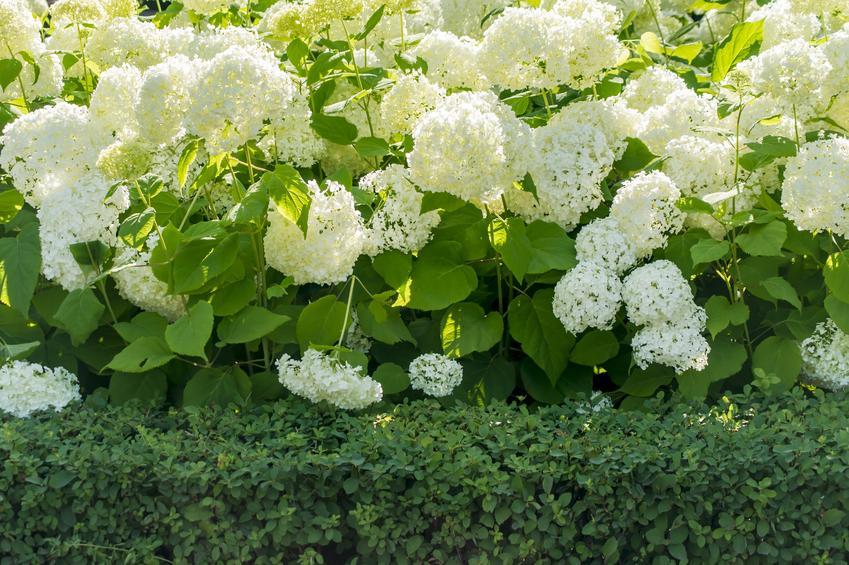 Hortensja ogrodowa w kwiatostanami, a także hortensja bukietowa, hortensja pnąca i pielęgnacja hortensji