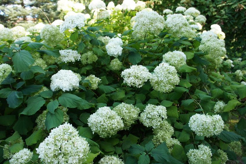 Hortensja ogrodowa w czasie kwitnienia, a także hortensja krzewiasta, hortensja drzewiasta i ich uprawa