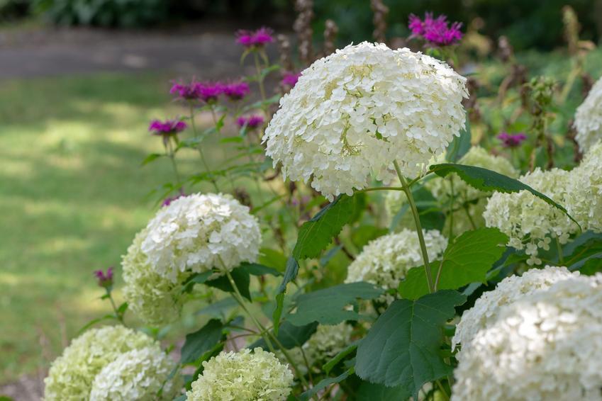 Hortensja krzewiasta w czasie kwitnienia w ogrodzie, a także hortensja drzewiasta i jej odmiany