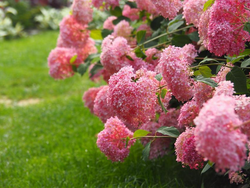 Różowa hortensja drzewiasta kwitnąca w ogrodzie, a także odmiany hortensji ogrodowej