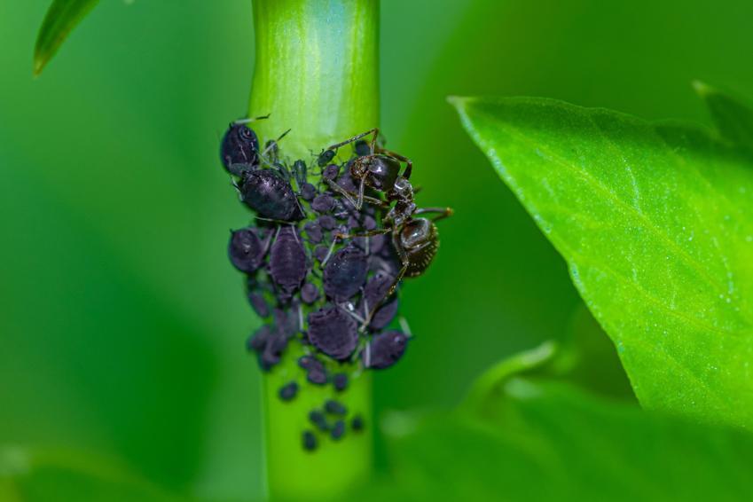 Mszyce i mrówka siedzące na roślinie, a także domowe sposoby na mszyce