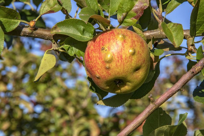 Owoce i liście jałoni porażone przez choroby jabłoni, parch jabłoni, a także zwalczanie chorób