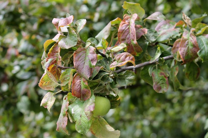 Porażone liście jabłoni, a także częste choroby jabłoni i zwalczanie chorób