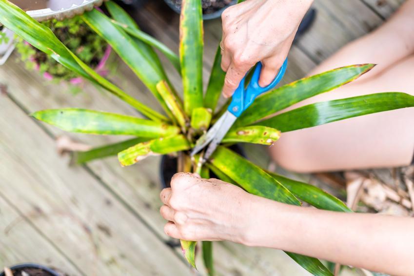 Porażone żółte liście draceny, a także częste choroby draceny, w tym draceny obrzeżonej