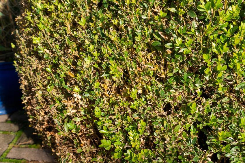 Porażone liście bukszpanu w ogrodzie, czyli szkodniki i choroby bukszpanu