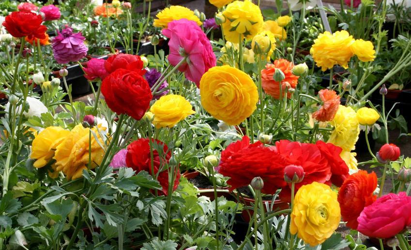 Kwiaty jaskry w czasie kwitnienia w ogrodzie, a także ich uprawa i pielęgnacja