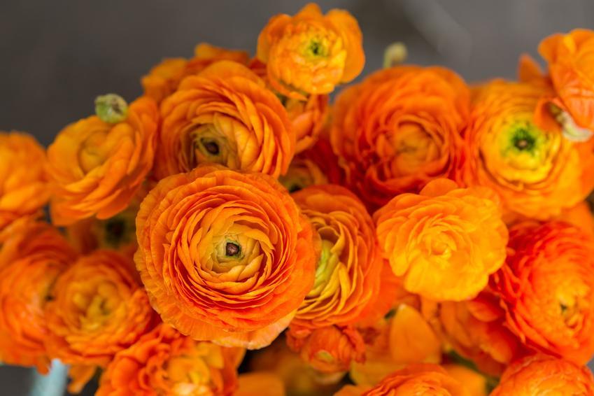 Bukiet z pomarańczowych jaskrów, a także kwiaty jaskry i ich uprawa w ogrodzie