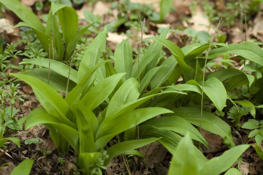 Zielone liście czosnku w ogrodzie, a także sadzenie i uprawa czosnku niedźwiedziego