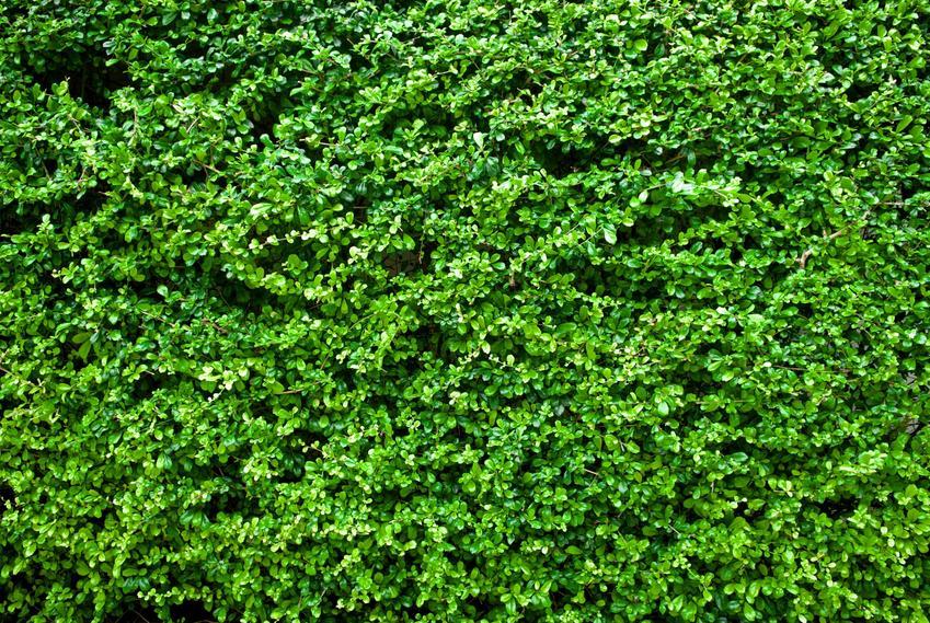 Żywopłot z ligustra w ogrodzie, a także ligustr pospolity, jego uprawa i pielęgnacja