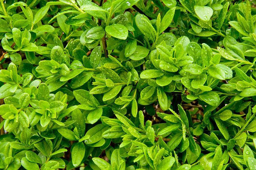 Ligustr zimozielony w ogrodzie, a także sadzonki ligustra na żywopłot