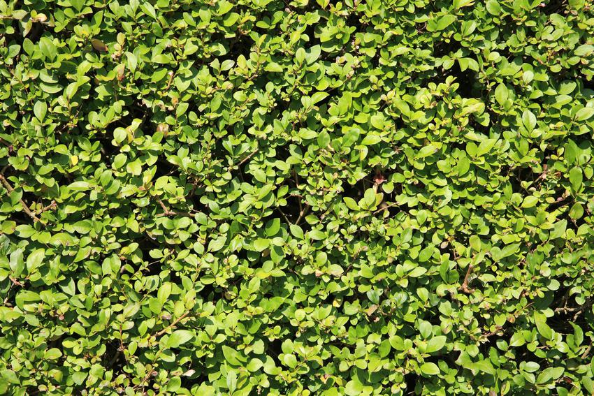 Żywopłot z ligustru zimozielonego, a także sadzonki ligustra na żywopłot