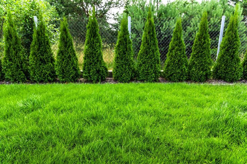 Tuje w ogrodzie oraz porady, jak rozmnożyć tuje i rozmnażanie tui