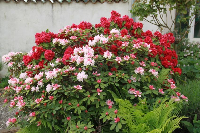 Krzew rododendron w czasie kwitnienia oraz różanecznik, sadzenie rododendrona, odmiany różanecznika