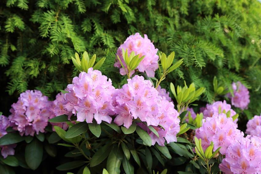 Różowe kwiaty rododendrona w czasie kwitnienia, a także różanecznik, sadzenie rododendrona, odmiany różanecznika