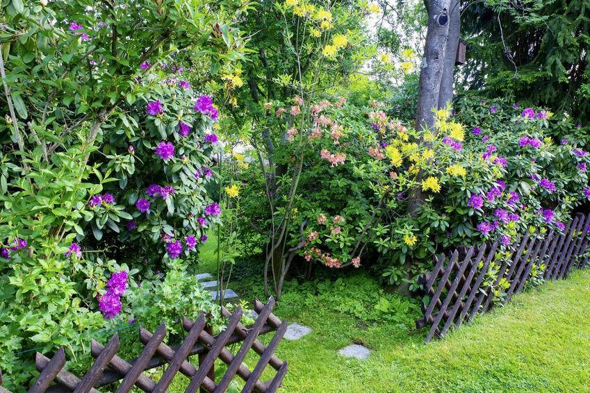 Rododendron w ogrodzie w czasie kwitnienia, a także różanecznik, sadzenie rododendrona, odmiany różanecznika