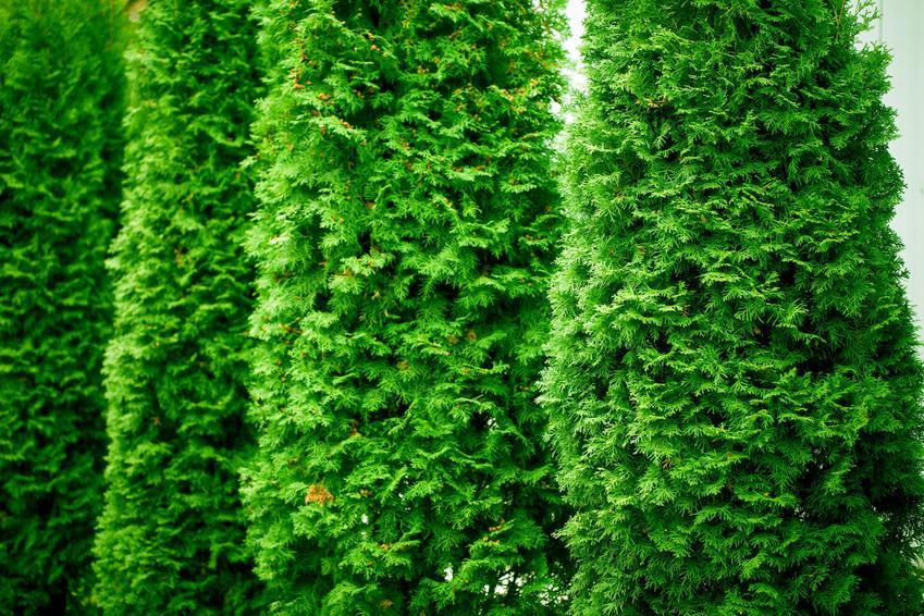 Zielone tuje w ogrodzie, a także jak, kiedy nawozić tuje i czym nawozić tuje