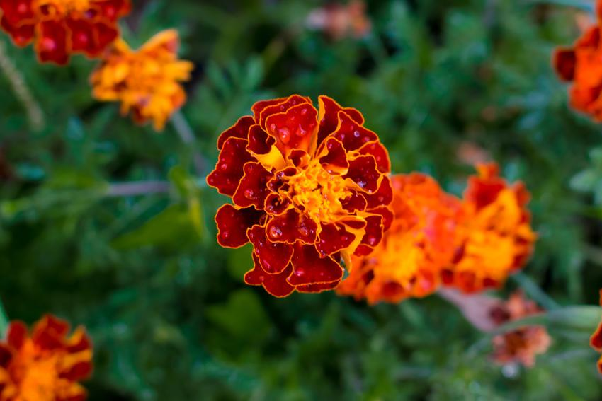 Aksamitka w ogrodzie w czasie kwitnienia, a także wysiew aksamitki do gruntu
