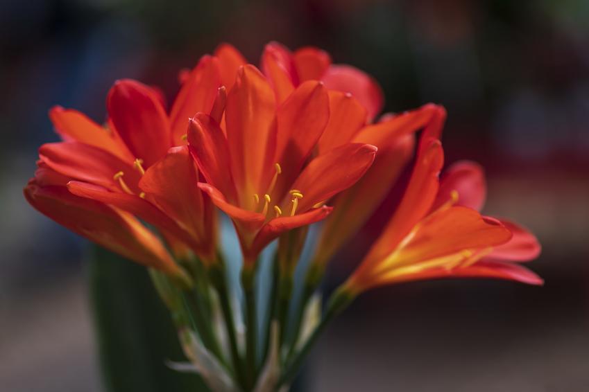 Kwiat kliwia pomarańczowa i kliwia cynobrowa w czasie kwitnienia i jego uprawa
