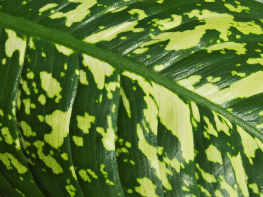 Kwiat difenbachia i zbliżenie na jego liść, a także pielęgnacja w doniczce