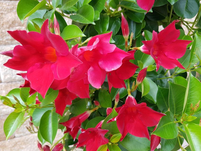Kwiaty I Rosliny Ozdobne Sundaville Krok Po Kroku Uprawa Pielegnacja Kwitnienie