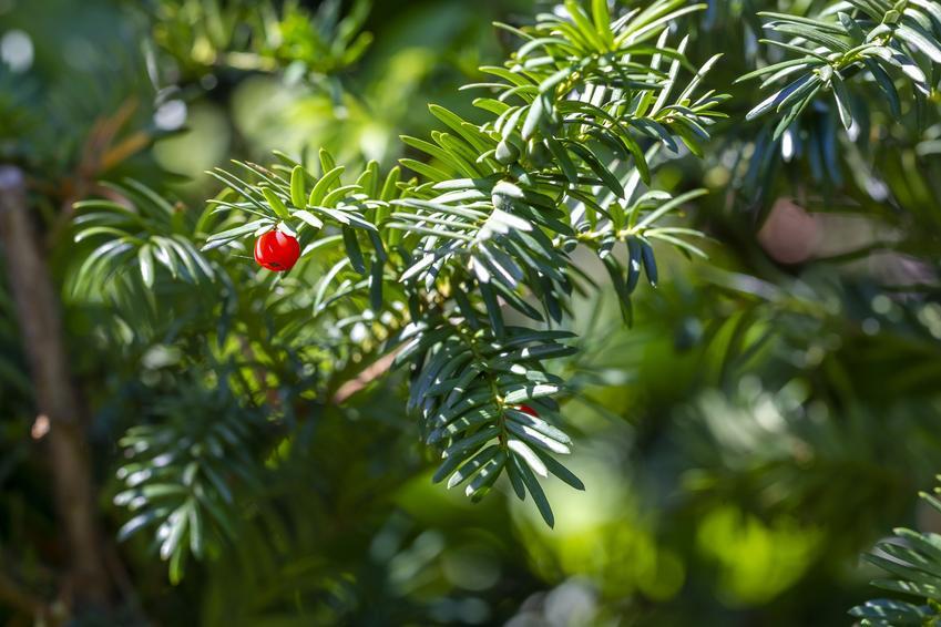 Cis żywopłotowy w czasie owocowania, a także sadzenie cisów na żywopłot
