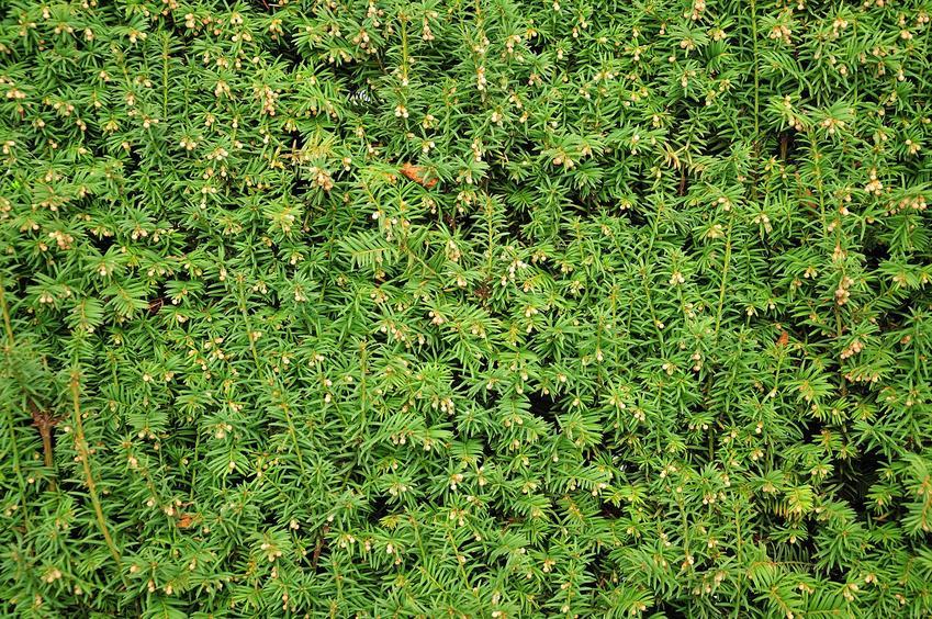 Żywopłot z cisu w ogrodzie, a także  cis żywopłotowy i jego sadzenie krok po kroku