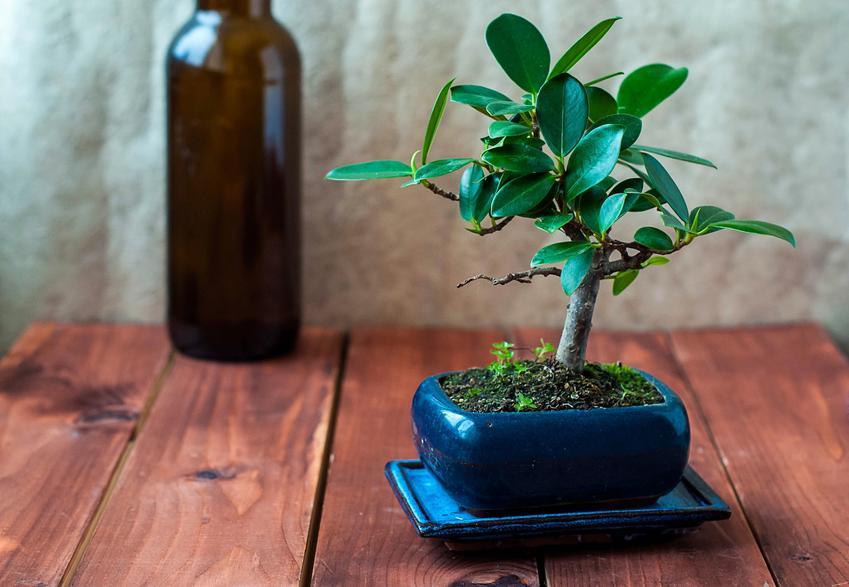 Fikus bonsai, ficus bonsai na drewnianym stole, a także cena drzewek bonsai