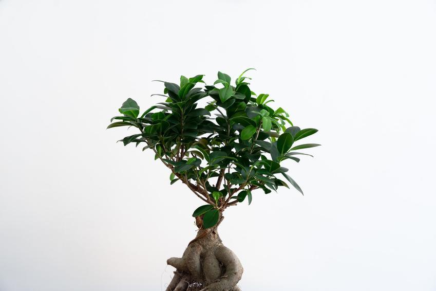 Drzewko fikus bonsai, ficus bonsai na białym tle, a także cena drzewek bonsai